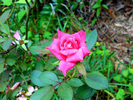 Wild Pink by Calypso1977