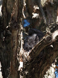 Tawny Frogmouth family by POSSUM360