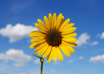 Sunflower on blue sky by Stock-by-Kai