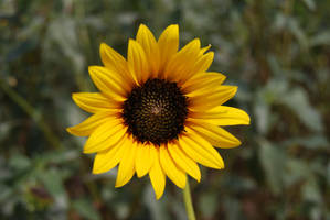 Sunflower by Stock-by-Kai
