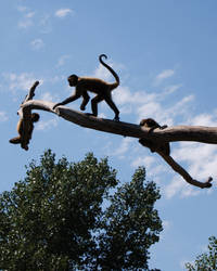 Spider Monkeys by Stock-by-Kai
