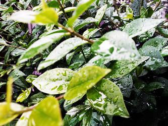 Hedge by Purpler