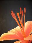 Orange Lily by Zukos-Hot-Bod