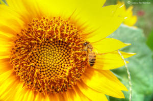A Bee And Sunflower by jim88bro