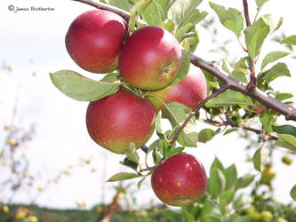 Apples On The Branch by jim88bro
