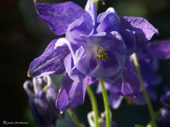Lavender Columbine by jim88bro