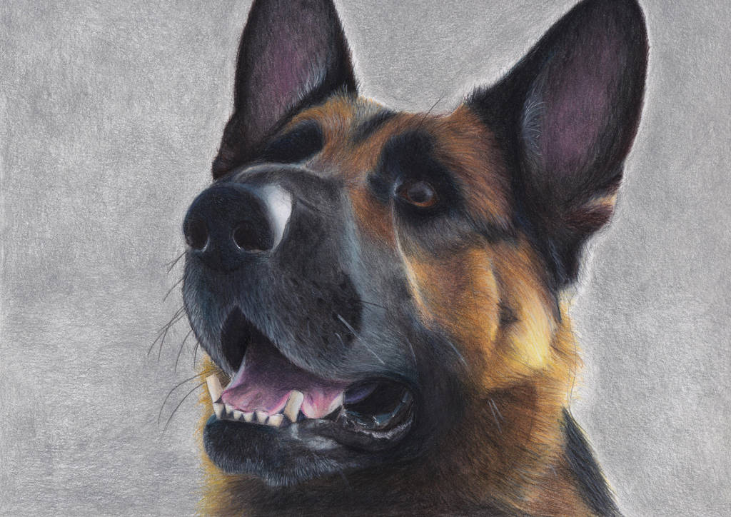 German Shepherd by blue-birdie-drawings