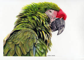 Green Macaw by blue-birdie-drawings