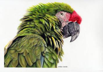 Green Macaw by blue-birdie-drawings