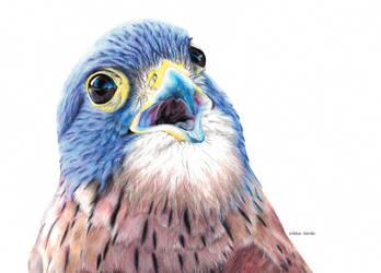 Rock Kestrel by blue-birdie-drawings