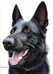 Black german shepherd by blue-birdie-drawings