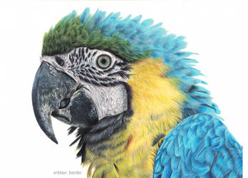Blue-and-yellow macaw by blue-birdie-drawings