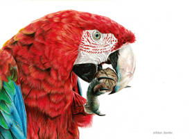 Red macaw by blue-birdie-drawings