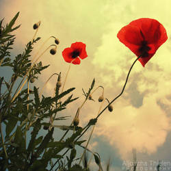 First rays rise to the poppy by AljoschaThielen