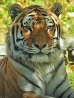 Tiger Pride by mydigitalmind