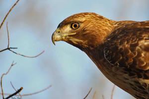 Hawk Profile by mydigitalmind