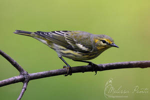 Backyard Warbler by mydigitalmind