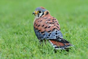 Mighty Falcon by mydigitalmind