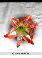 Amaryllis by stergios