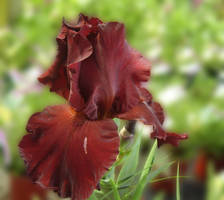 Burgundy Iris by Pentacle5