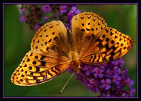 Orange Butterfly by sunflowervlg
