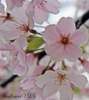 Cherry Blossoms by sunflowervlg