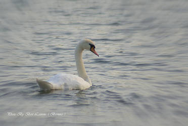 Just a swan. by Bermiro