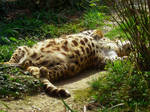Leopard in Dreams by allison731