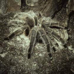 Tarantula by allison731