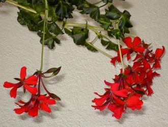 Red Geranium II by allison731