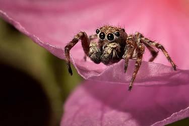 Jumping Spider by MissFlykt