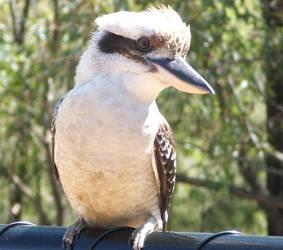 Kookaburra by rinakkins6