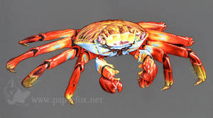 Sally Lightfoot Crab by art-paperfox