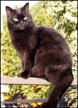 The beautiful black cat by arualcat