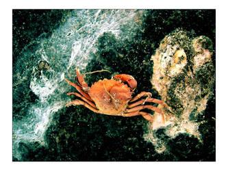 Crab by hrmeyer