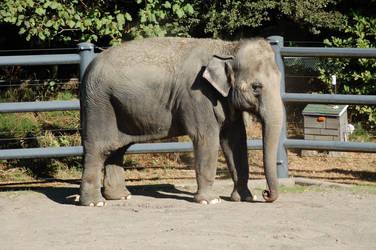 Elephant 1 by Alegion-stock