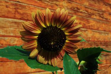 Sunflower by rustyshacklefjord
