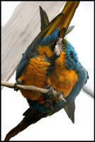 Parrots by RaquellAndriessen
