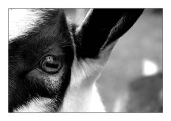 Goat's Eye by feisar