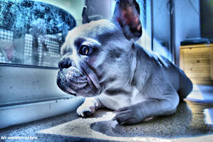 french bulldog by anddy24