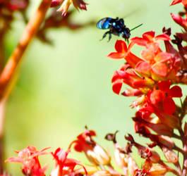 Blue Bee by merazz