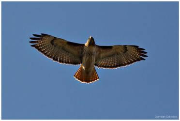Red-tailed Hawk: Soaring by arwulf