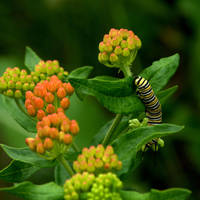 Butterflyweed and The Monarch by Ragnar949
