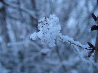 Frosted Flower by Automatism72