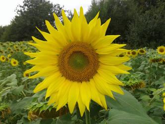Sunflower by Bonnzai