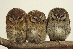 Owls in Japan by raechele