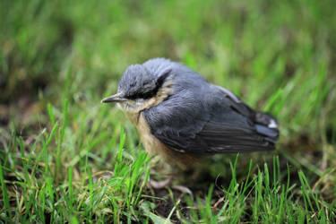 Angry bird(s) ^^ by draw-o-holik