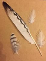 Gyrfalcon feathers by Crestiesam