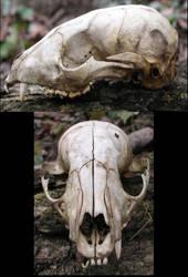 S.S. animal skull by shudder-stock
