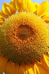Bright Sun(flower) by chocopple